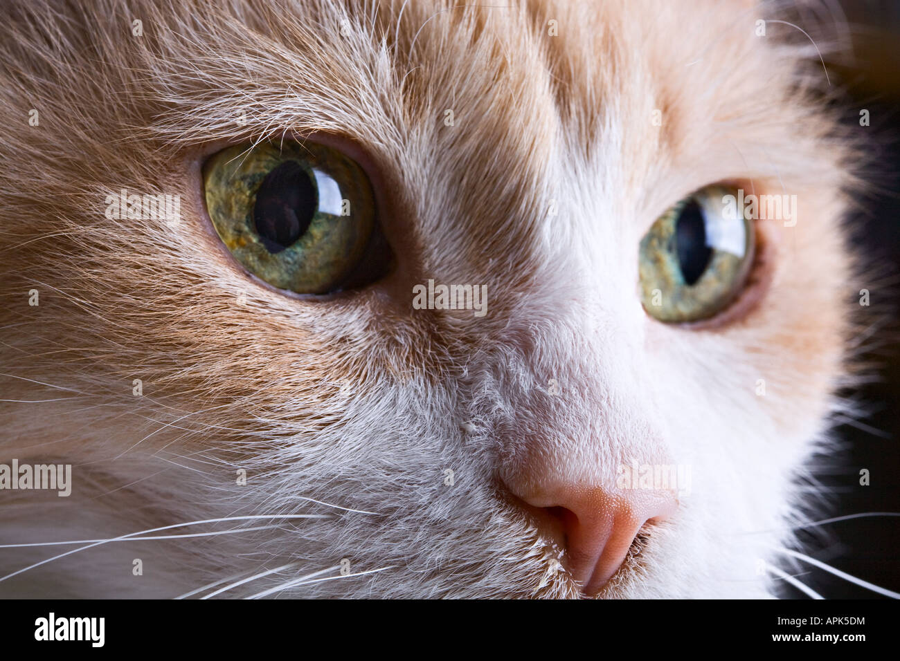 fe52f855ec Turkish Van - Cat Stock Photo  15810415 - Alamy