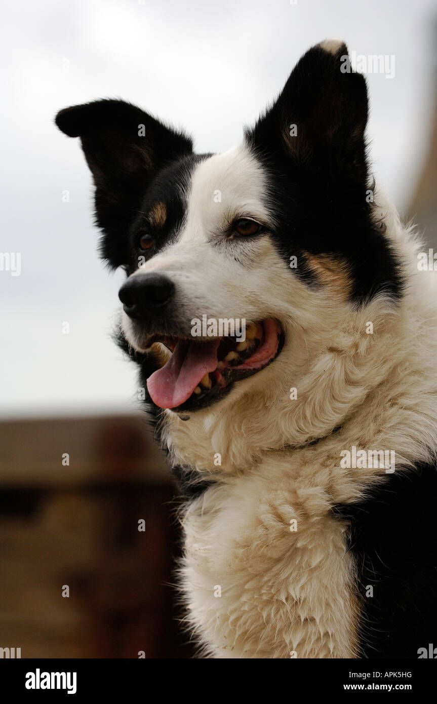 a close up head and sholders shot of a border collie coloured coar and tounge hanging out panting and paying attention - Stock Image