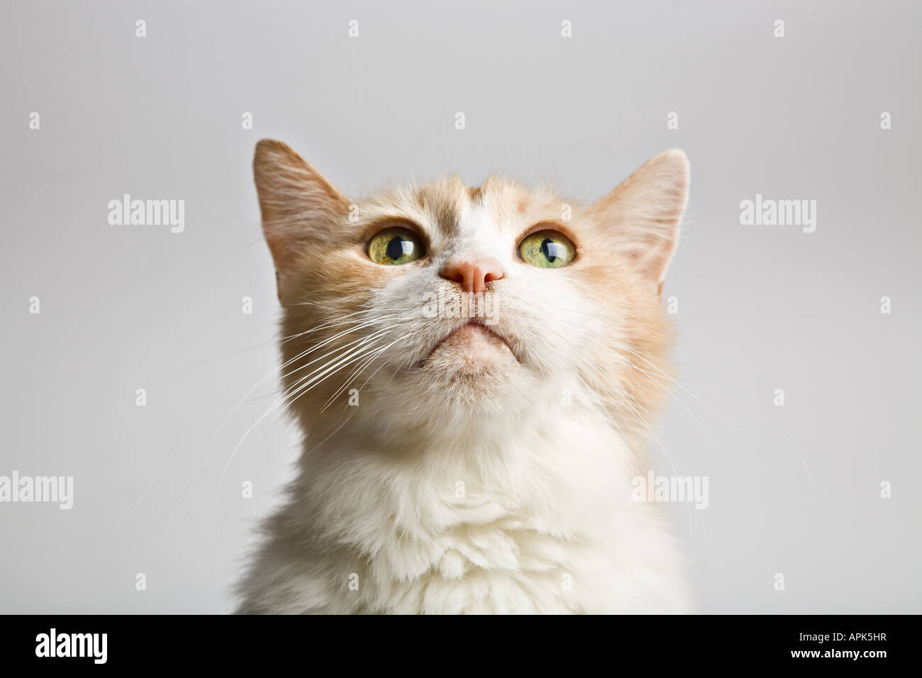 f005a5fed6 Turkish Van - Cat Stock Photo  15810466 - Alamy