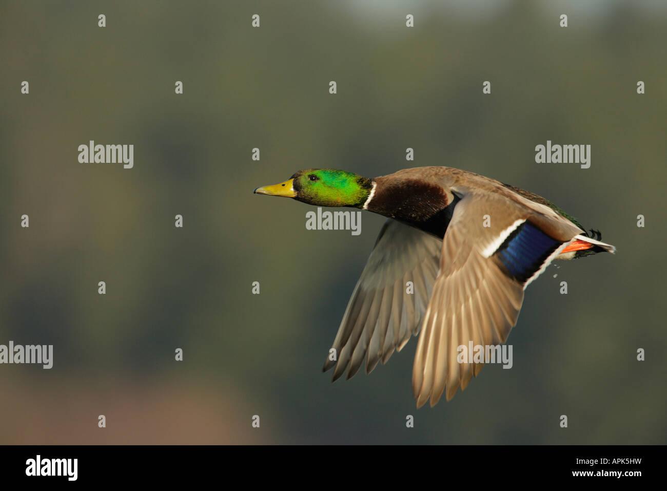 Mallard duck drake in flight over lagoon Victoria British Columbia Canada - Stock Image