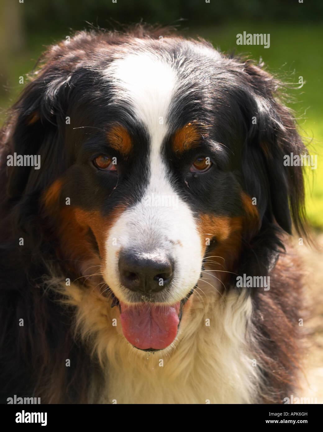 burmese mountain dog - Stock Image