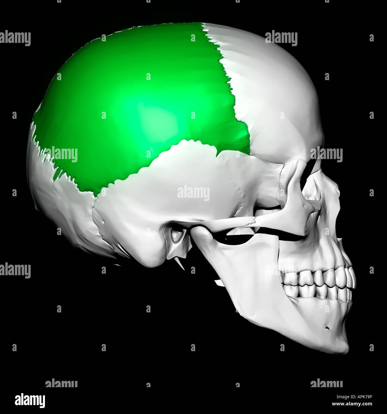 Parietal Bone Highlighted On Human Skull Stock Photo 2930574 Alamy