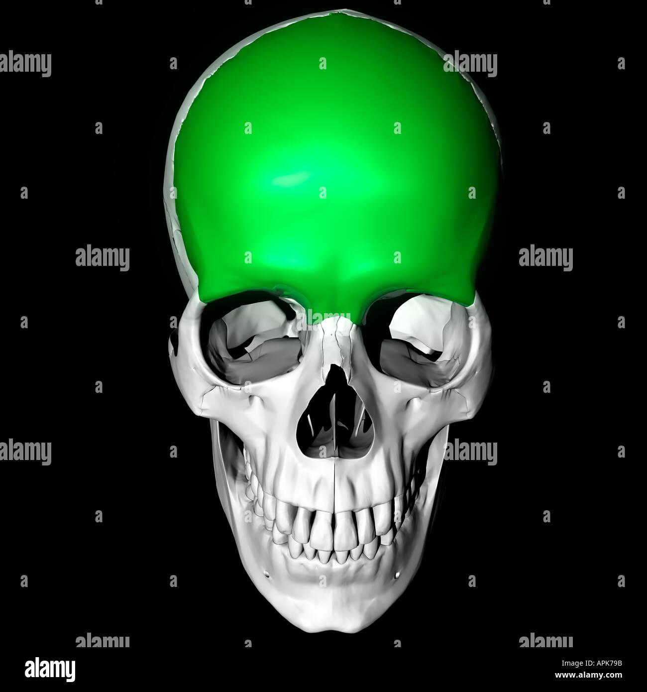 Frontal Bone highlighted on human skull Stock Photo: 2930586 - Alamy