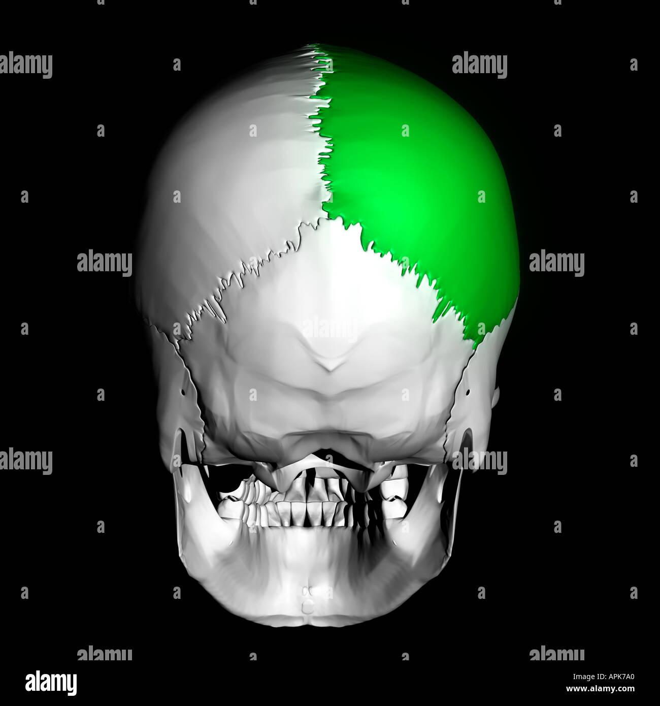 Parietal Bone Stock Photos Parietal Bone Stock Images Alamy