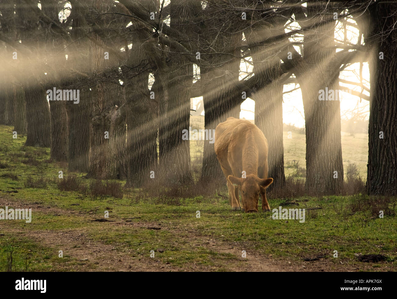 a cow eats grass in the morning with sun rays coming through the trees - Stock Image