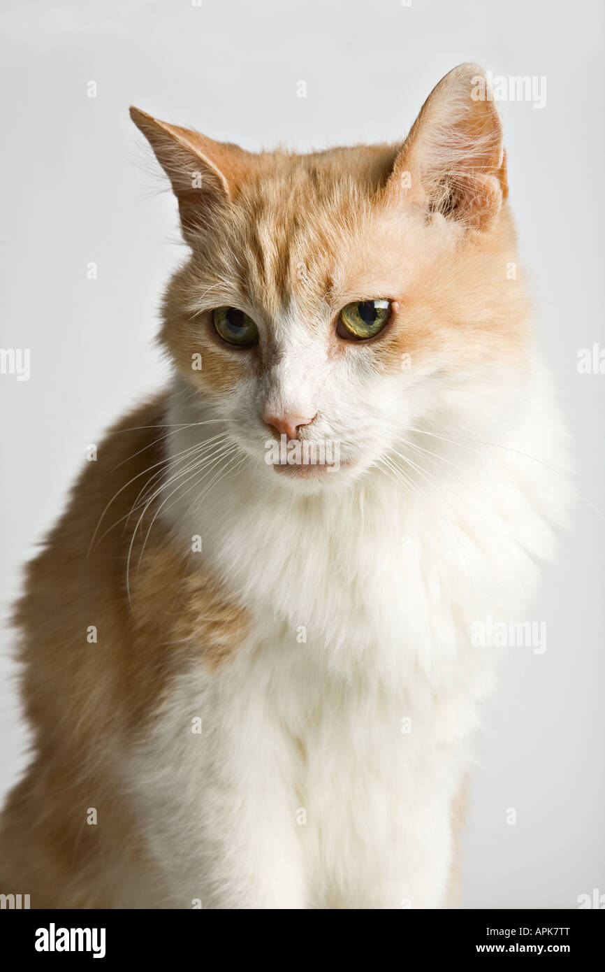 4eb5d180f2 Turkish Van - Cat Stock Photo  15811223 - Alamy