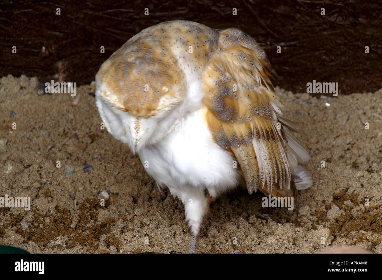 Barn Owl Beak Open Stock Photos & Barn Owl Beak Open Stock Images ...