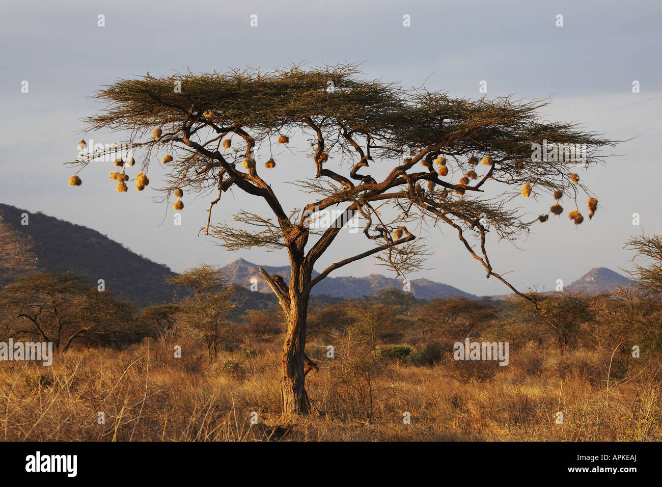 Umbrella Thorn Acacia Umbrella Acacia Acacia Tortilis Tree With