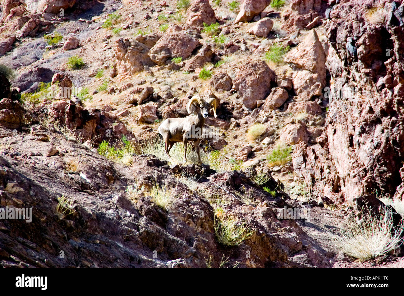 Mountain sheep ram male mature curved horns in the hills near Hoover Dam on border of Arizona AZ Nevada NV - Stock Image