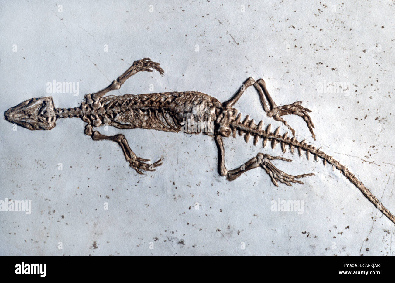 rhynchocephalians, Homoeosaurus pulchellus (Rhynchocephalia (Sphenodon), Homoeosaurus pulchellus), dinosaur of upper - Stock Image