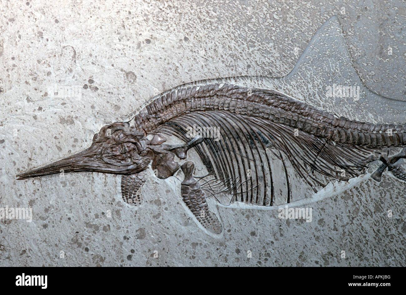 Ichthyosaurus quadriscissus, fossil - Stock Image