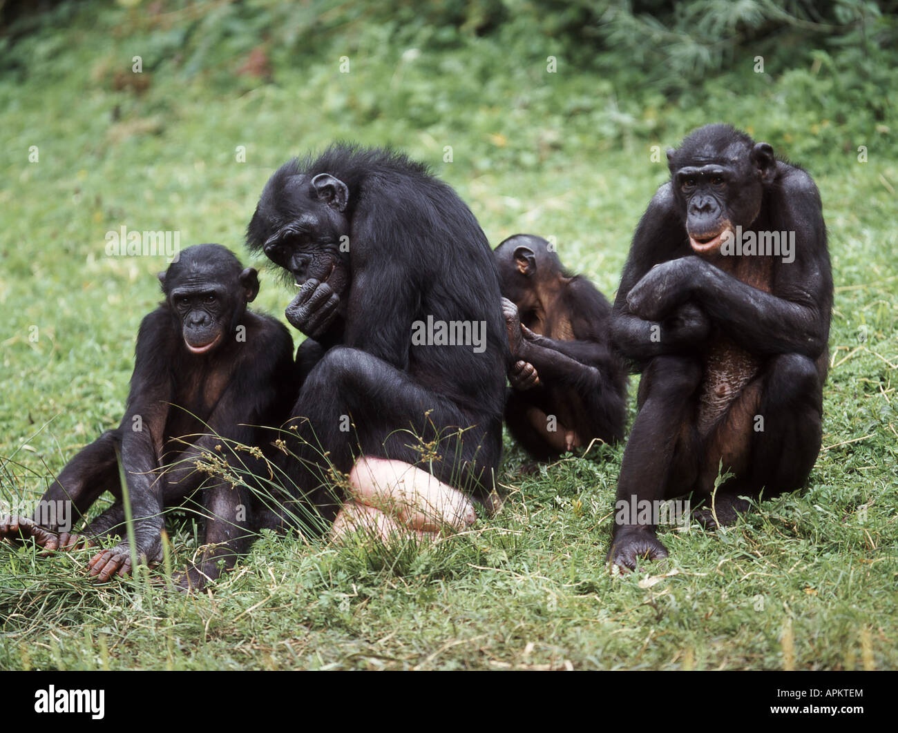 Humans Not Guilty In Shaping Chimpanzee, Bonobo Behavior