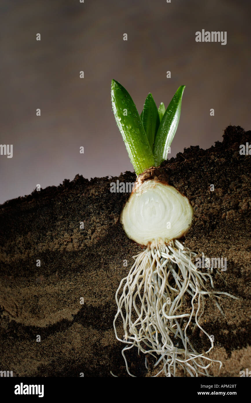 Cross section of a hyacinth bulb - Stock Image