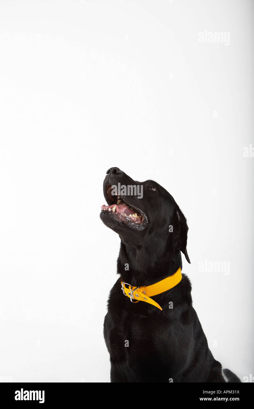 Black Labrador dog portrait - Stock Image