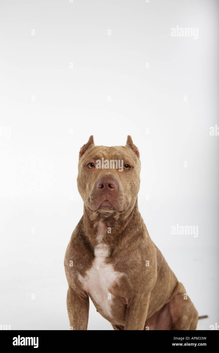 Pitbull dog portrait - Stock Image
