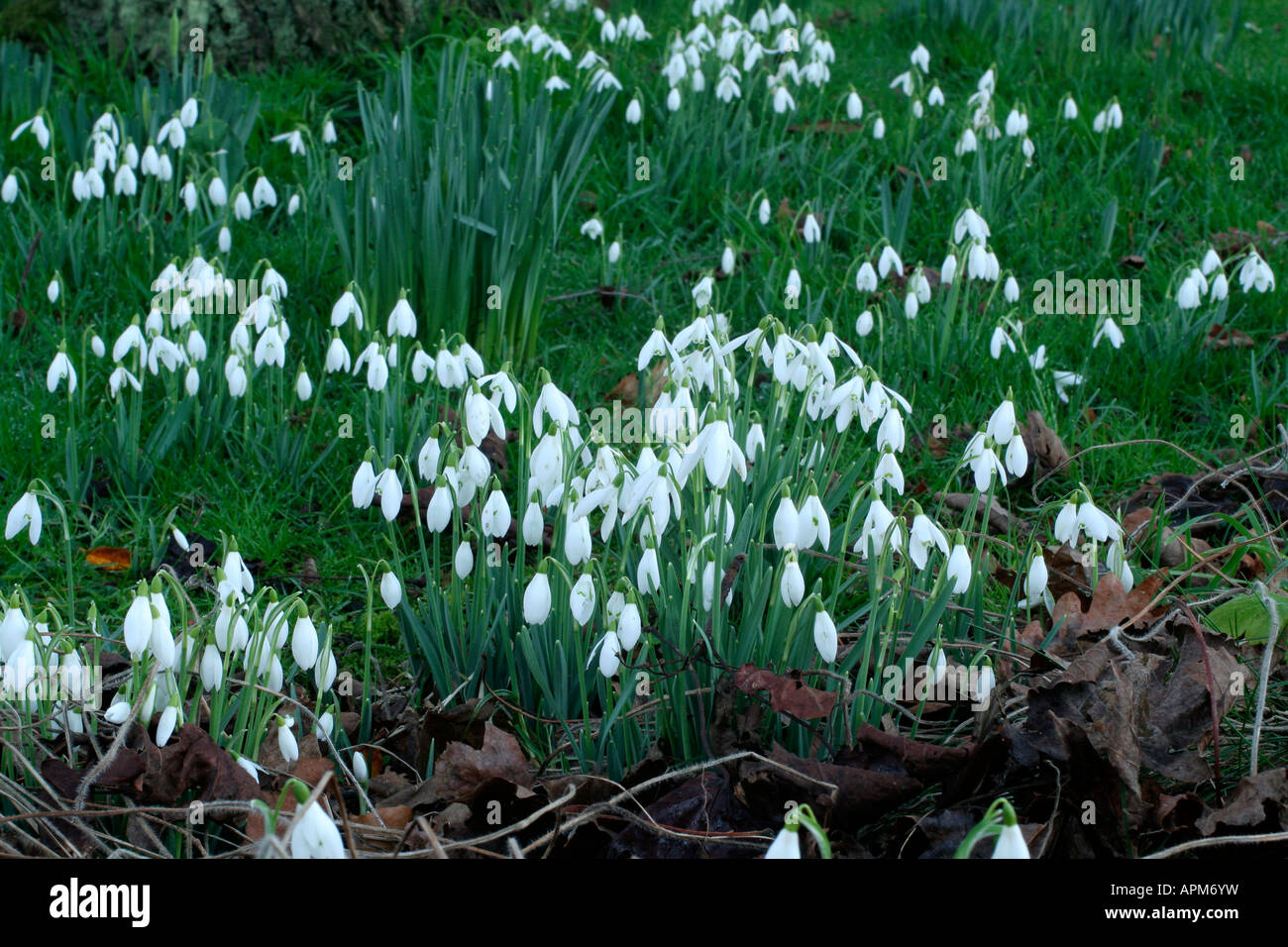 Snowdrops in a south Somerset garden late January - Stock Image