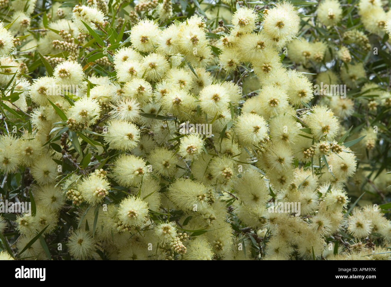 Banksia Farm Mount Barker Western Australia October Australia High Resolution Stock Photography And Images Alamy