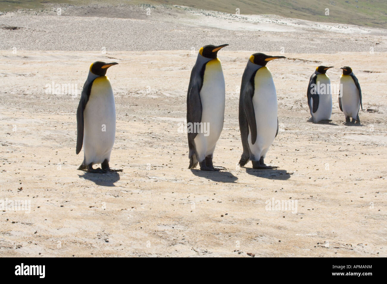 King penguins Aptenodytes patagonicus adults standing The Neck Saunders Island West Falkland South Atlantic Ocean - Stock Image