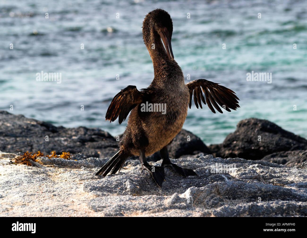 Flightless Cormorant drying 'wings'. Punta Espinosa, Fernandina, Galapagos - Stock Image