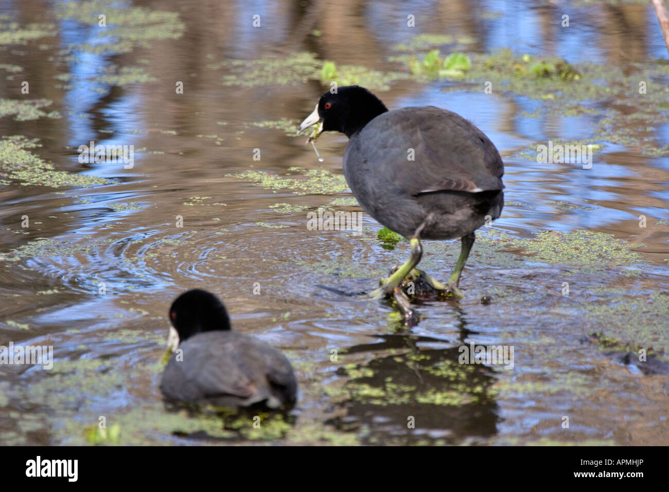 A pair of coots search for food in the marsh - Stock Image