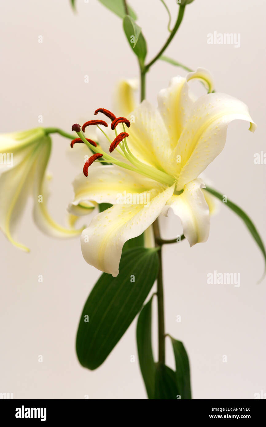 Closeup of a yellow and white lilly flower head bloom with long closeup of a yellow and white lilly flower head bloom with long pollen covered brown stamens and vivid green stems and leaves mightylinksfo
