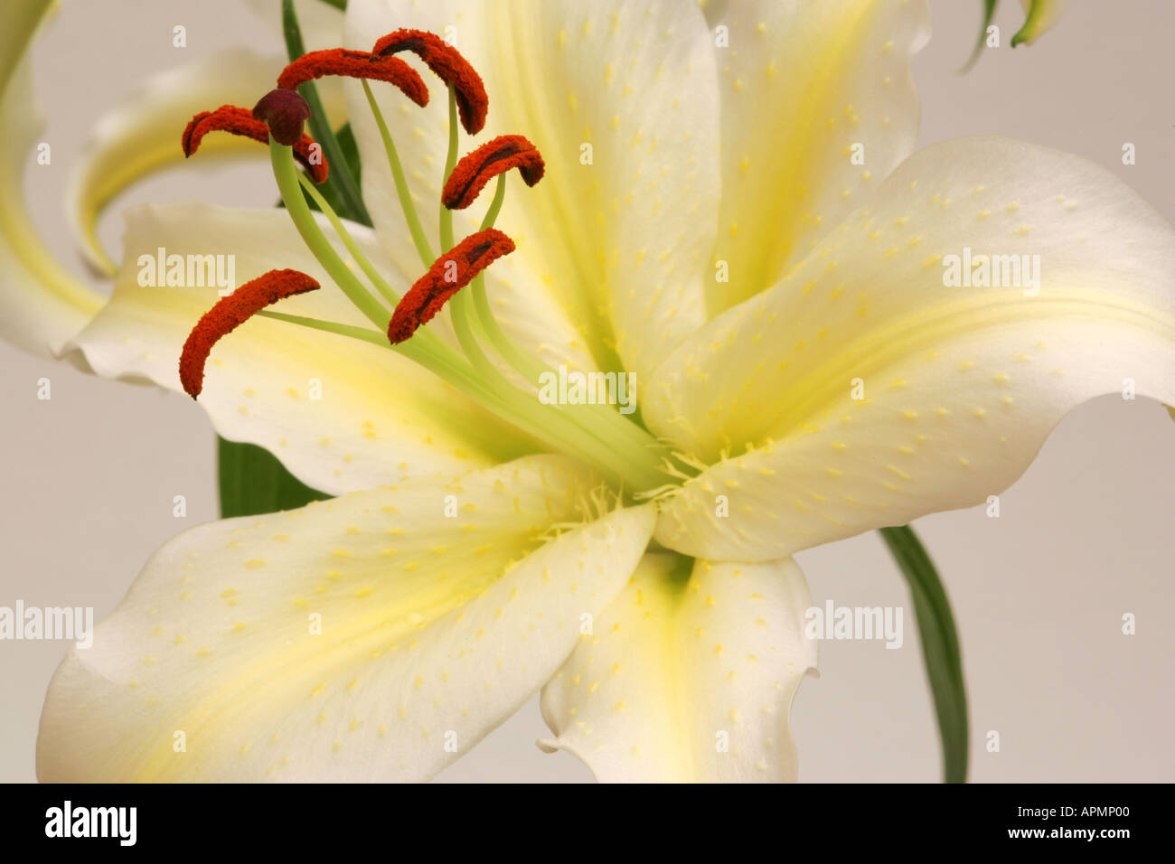 Extreme Closeup Of Yellow And White Lilly Flower Bloom With Brown