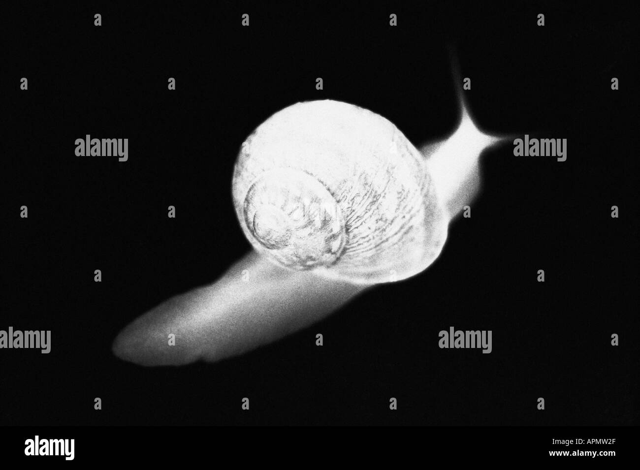 Radiograph of snail - Stock Image
