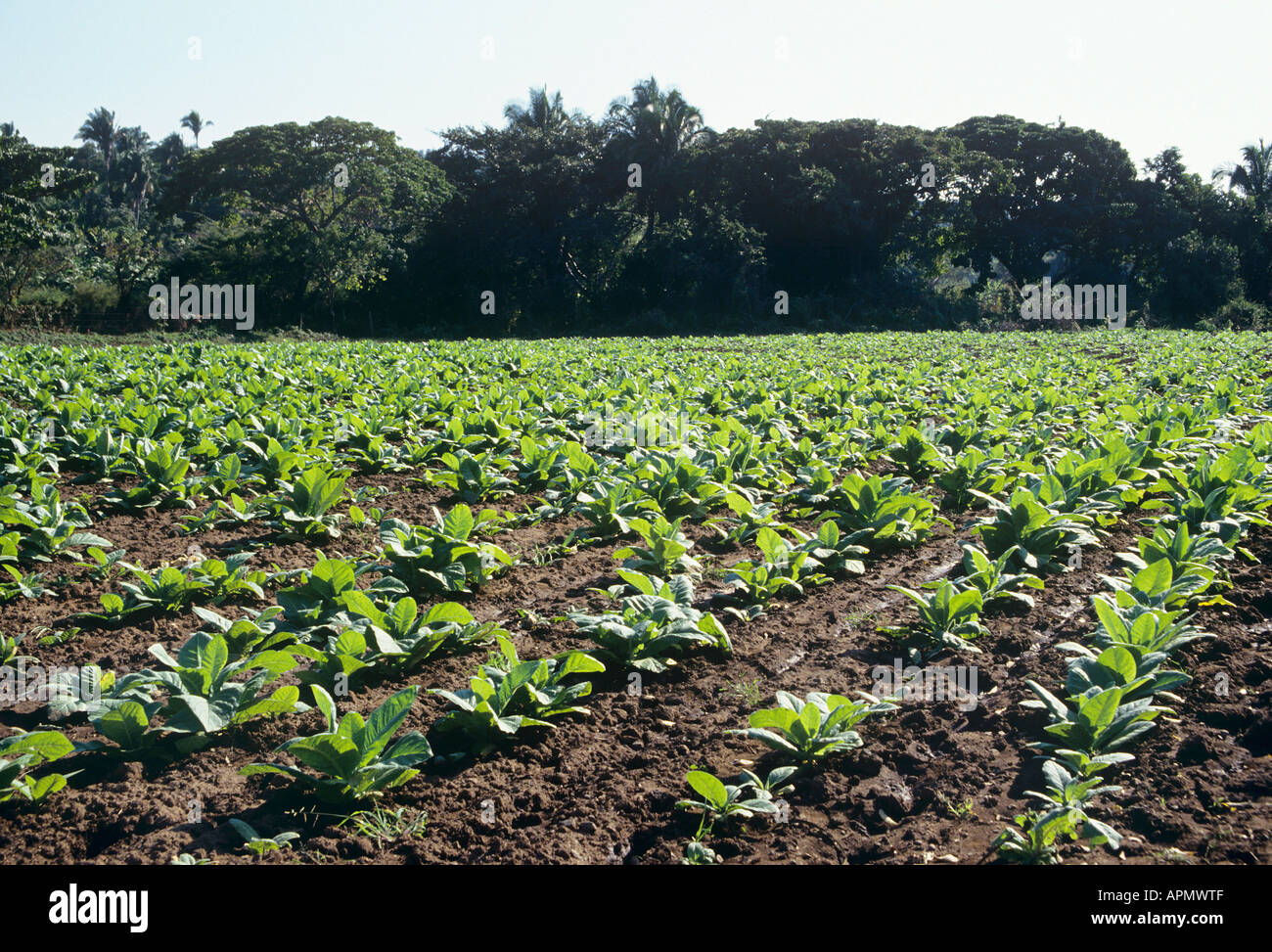 Rows of young tobacco plants their green leaves shining in the sun contrast with the dark green of the trees on the hillside at the edge of this field near Las Varas - Stock Image