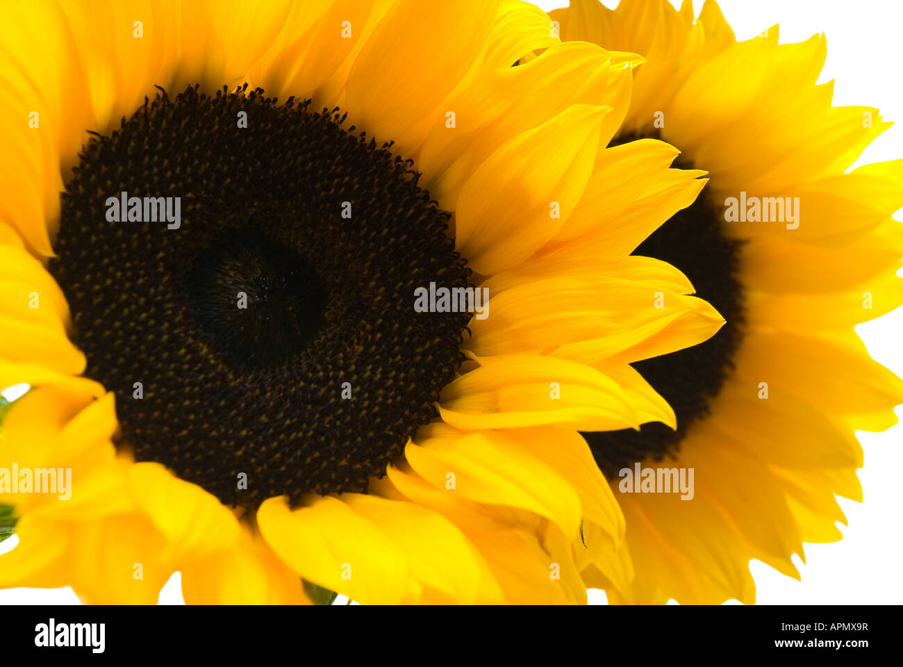 The Sunflower - Stock Image