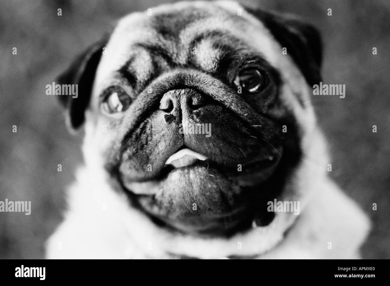 Portrait of a pug - Stock Image
