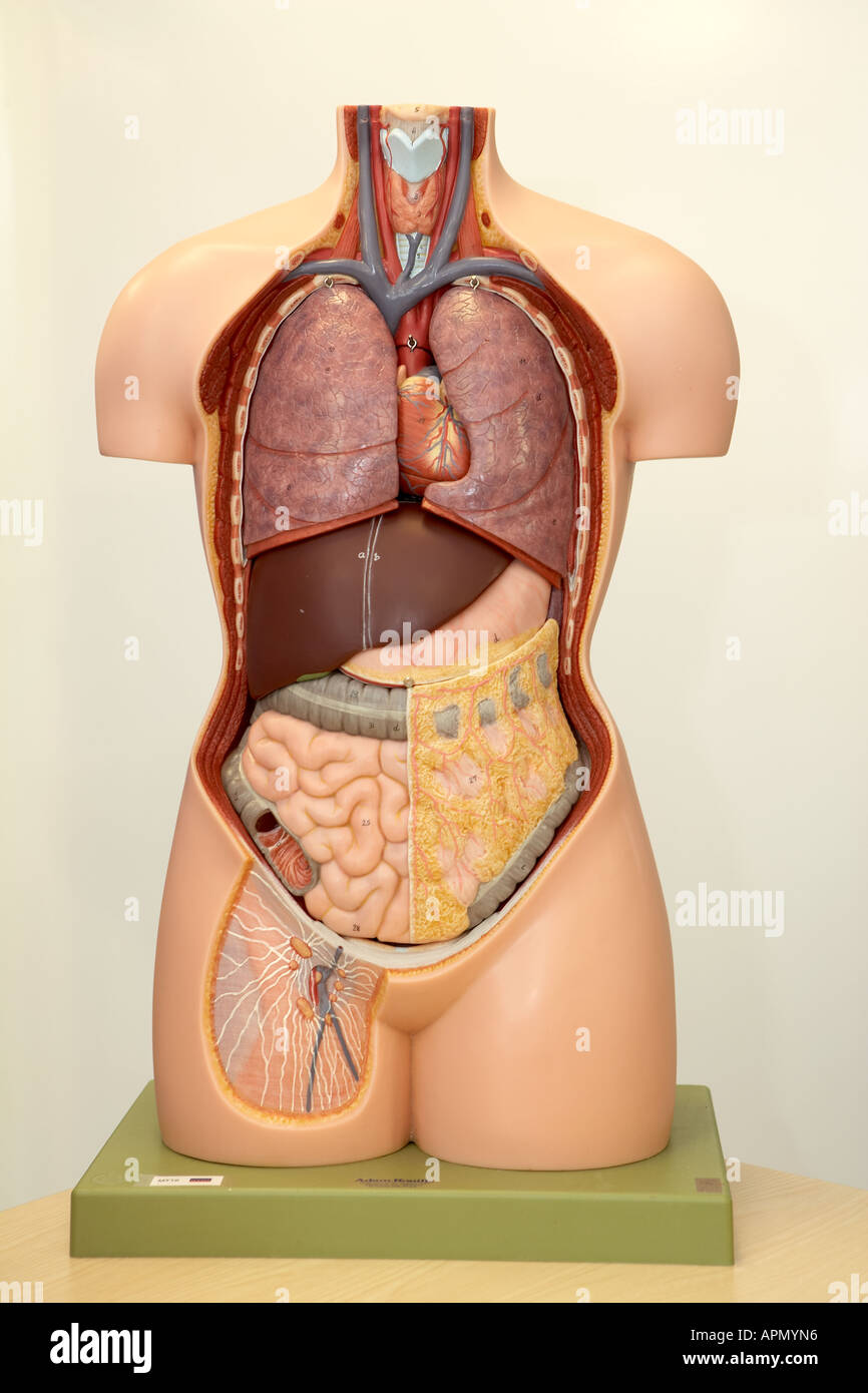 Model Human Torso Organs Stock Photos & Model Human Torso Organs ...