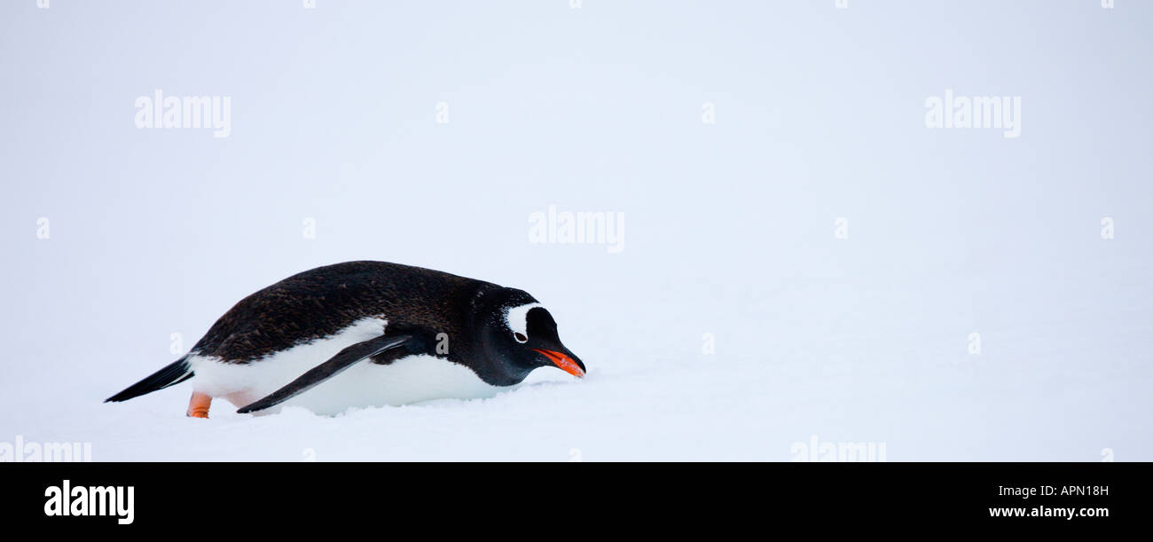 Gentoo penguin sliding in the snow, Antarctica - Stock Image