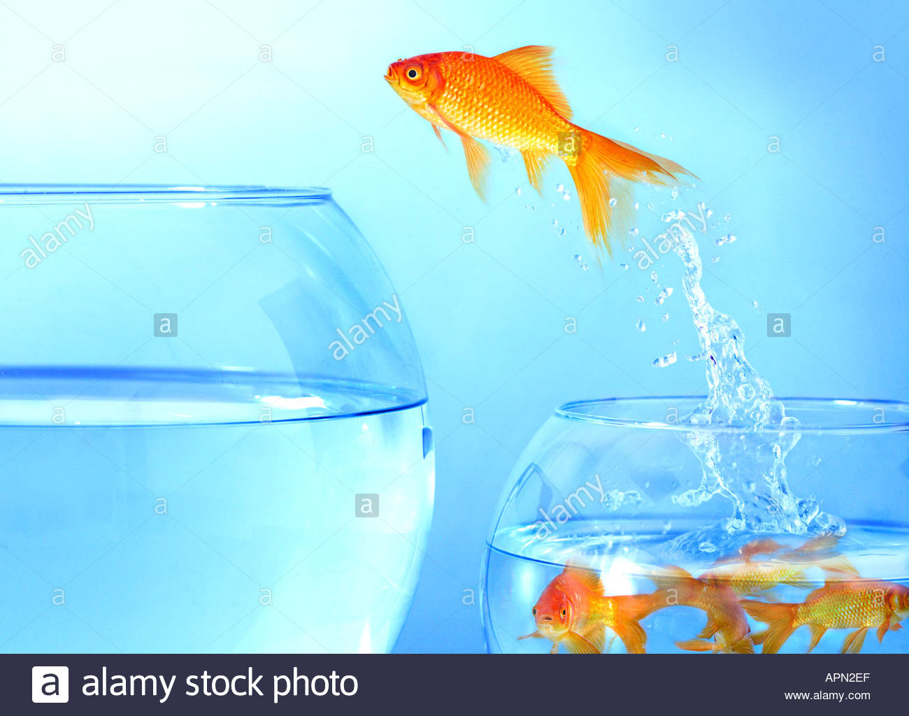 Goldfish jumping from small bowl to large bowl stock photo for Small fish bowl