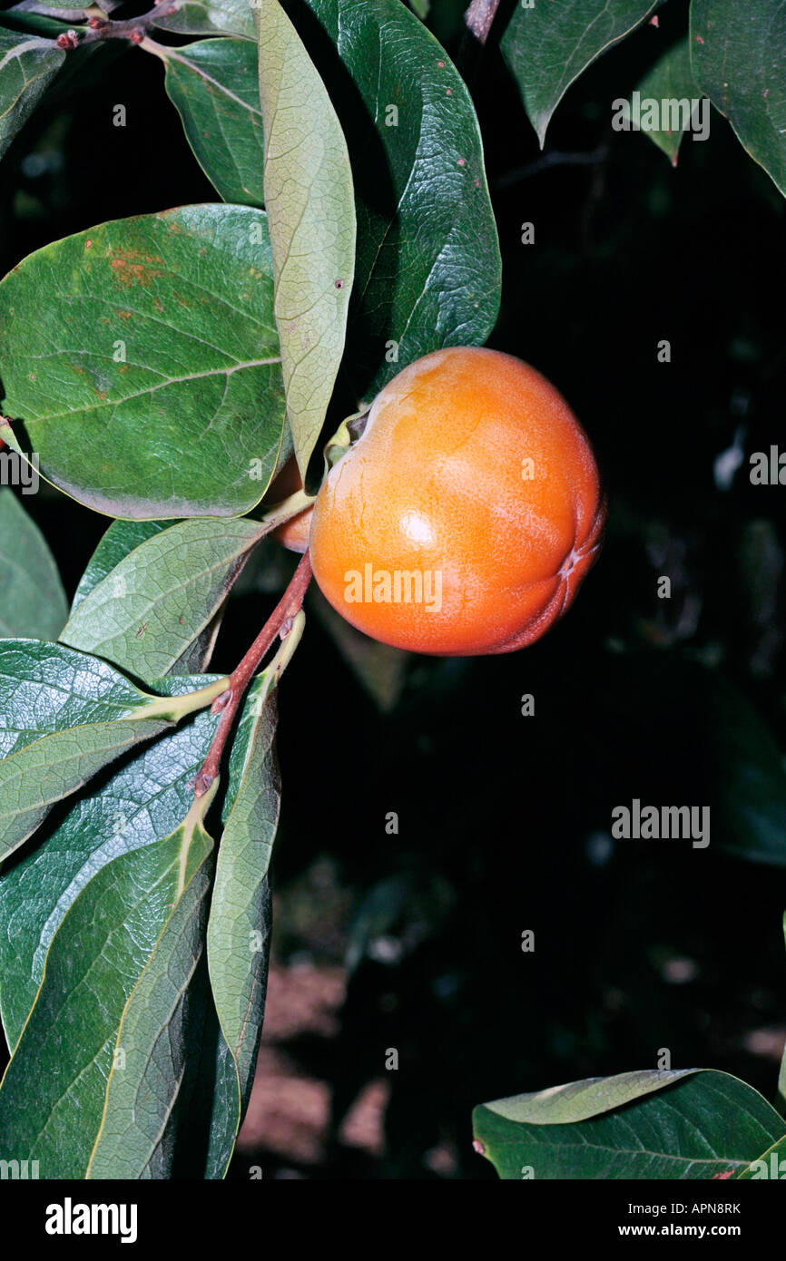 Fruit of Japanese Date Plum/Kaki Tree-Diospyros kaki-Family Ebenaceae Stock Photo