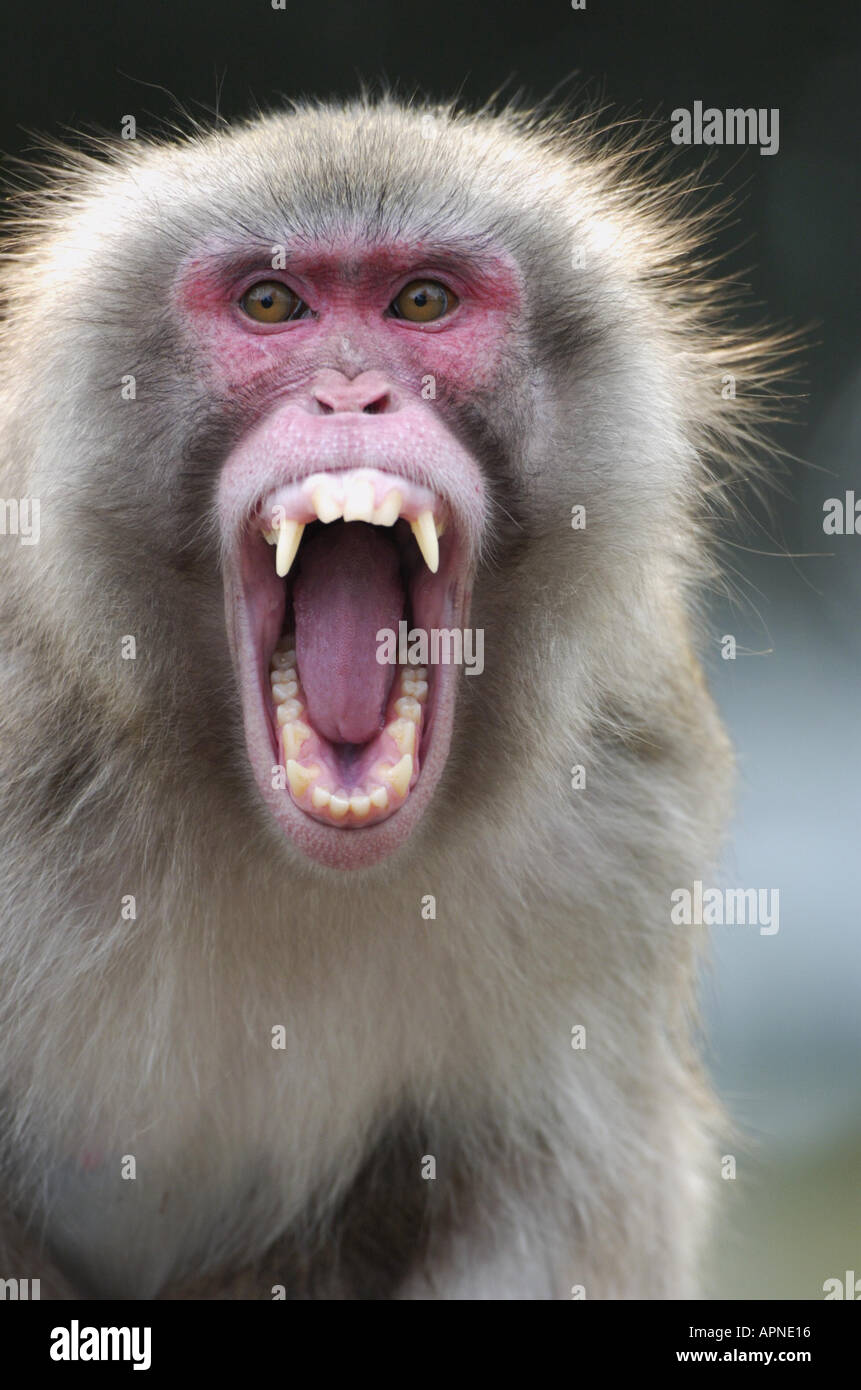Japanese macaque, snow monkey (Macaca fuscata), shouting, displaying his teeth, portrait Stock Photo