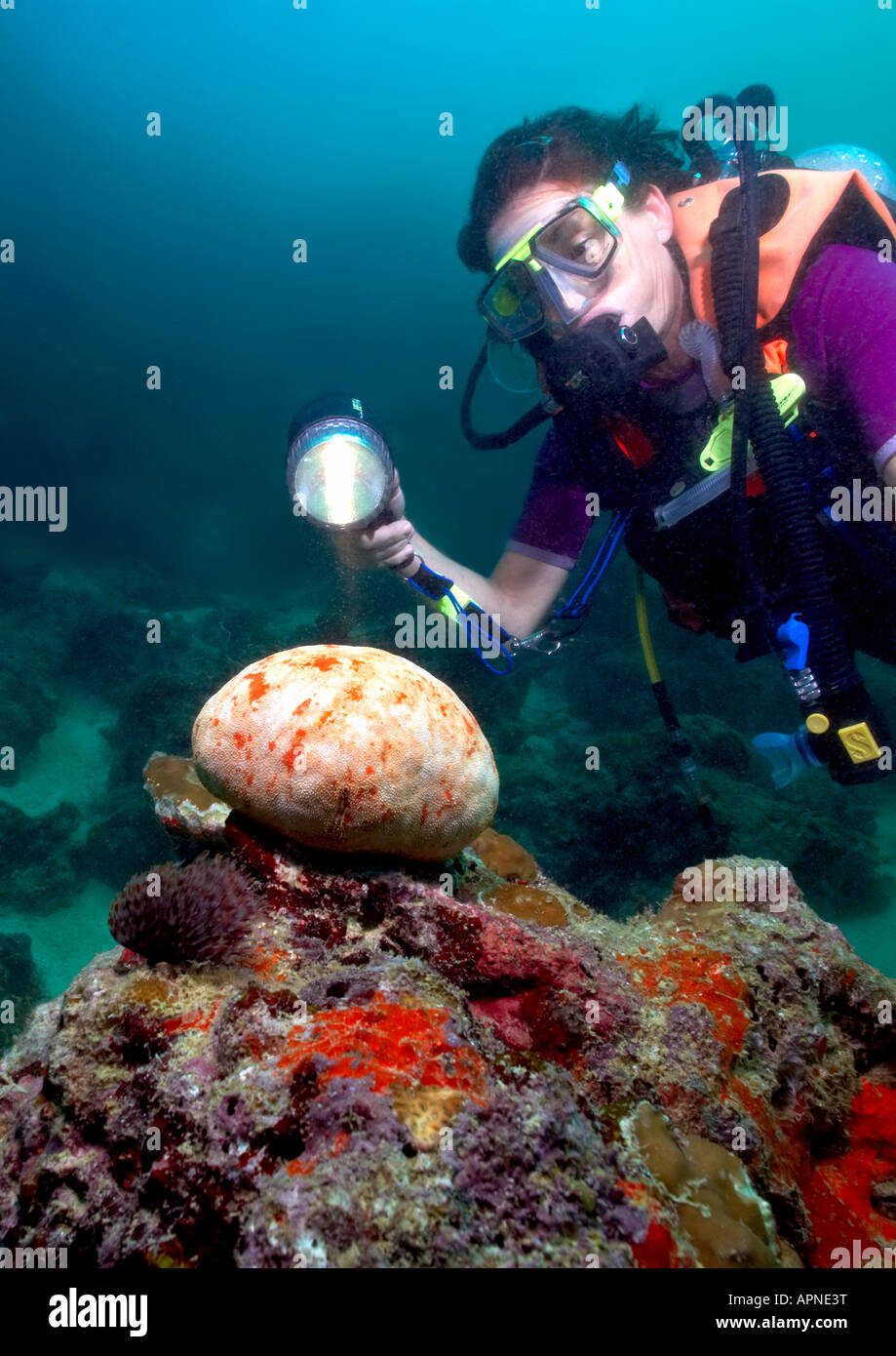 A diver shines her torch on a blotchy Cushion Starfish in the Gulf Of Tadjoura near Djibouti. Stock Photo