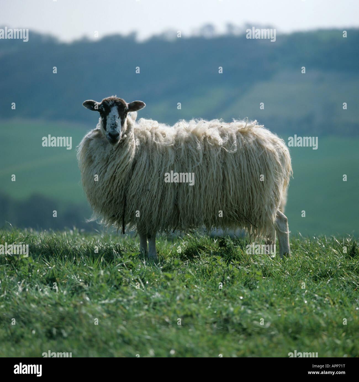 sheep wool uk ewe stock photos sheep wool uk ewe stock images alamy