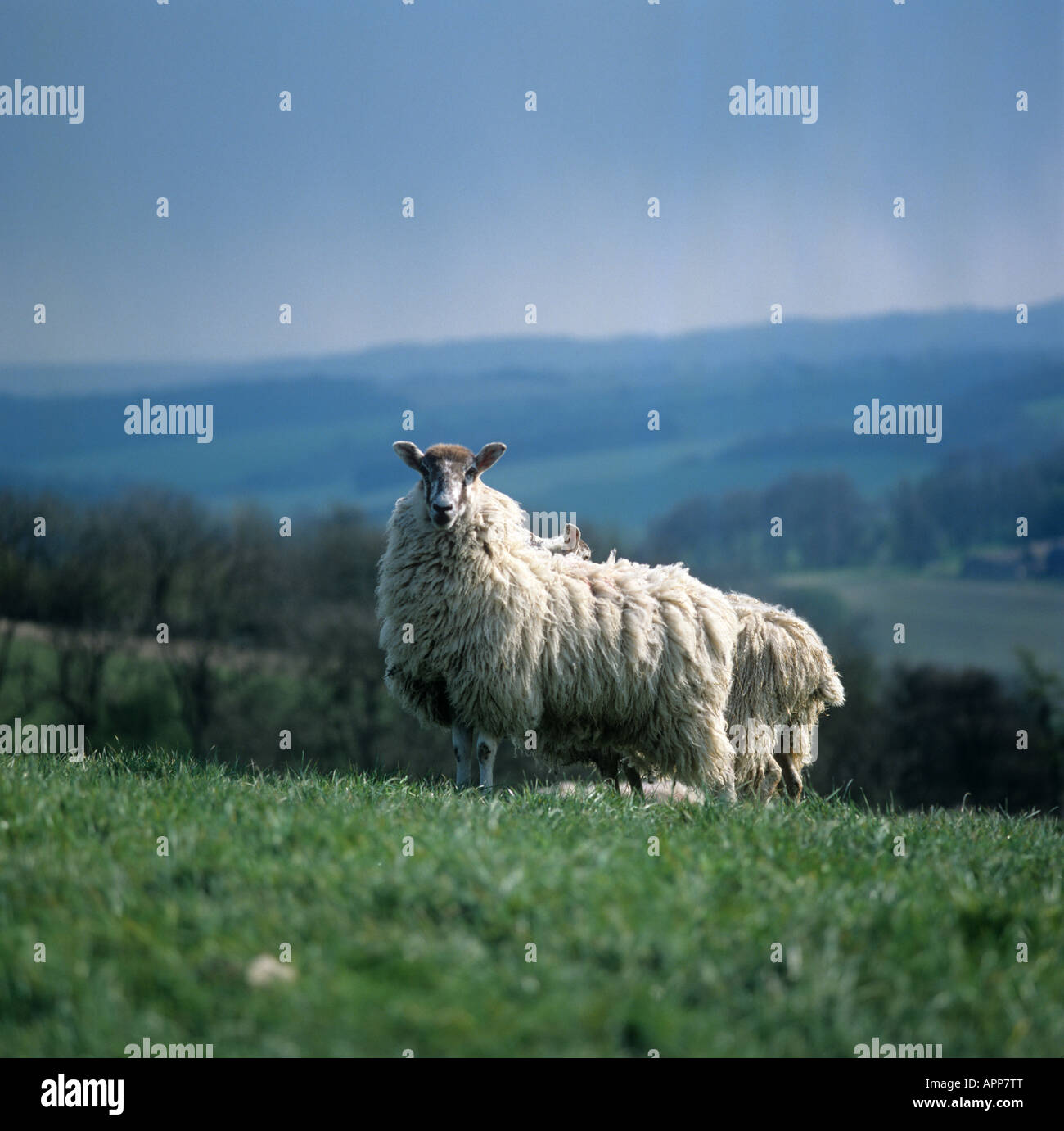 north country mule ewe on grass with long wool before shearing stock