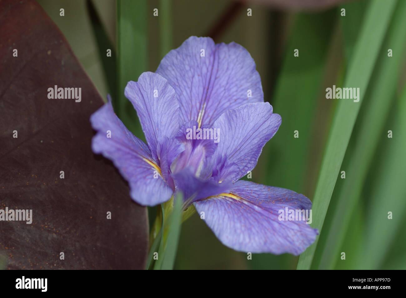 Scientific Classification Iris Common Name Stock Photos Scientific