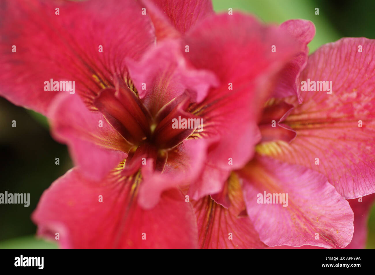 Scientific Classification Iris Is The Common Name For The Family