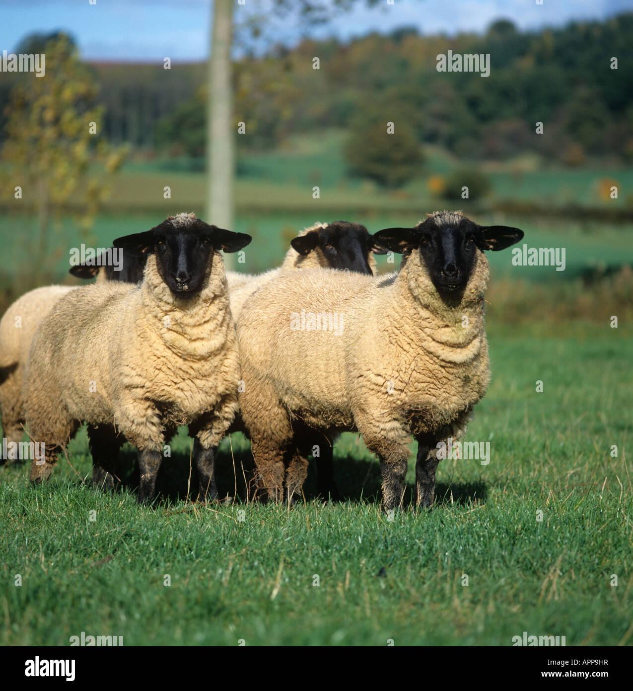 Suffolk ewe lambs on autumn pasture Herefordshire - Stock Image