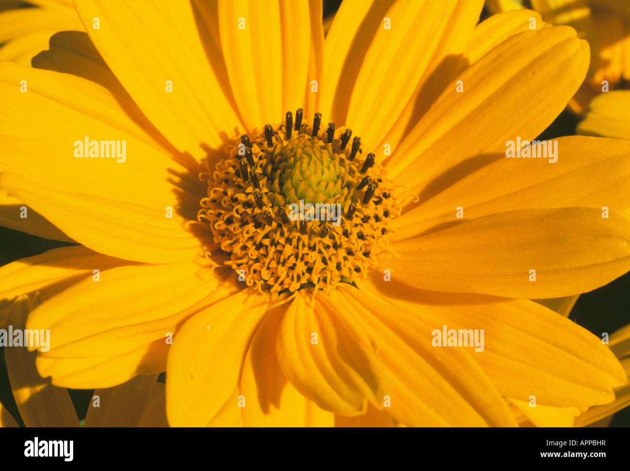 Coreopsis golden yellow sunny happiness and charm - Stock Image