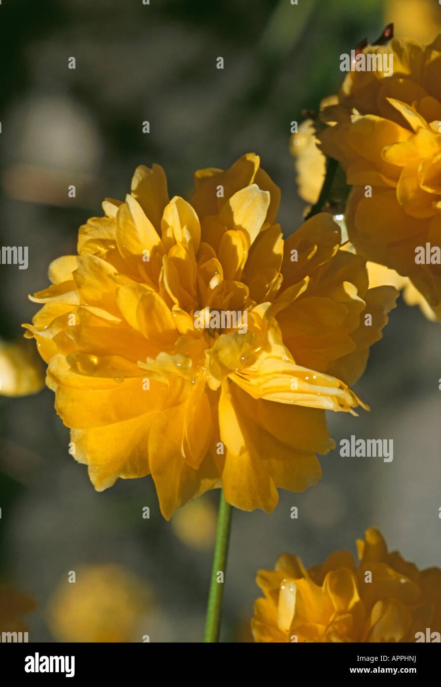 Kerria Japonica bush of pretty yellow flowers - Stock Image