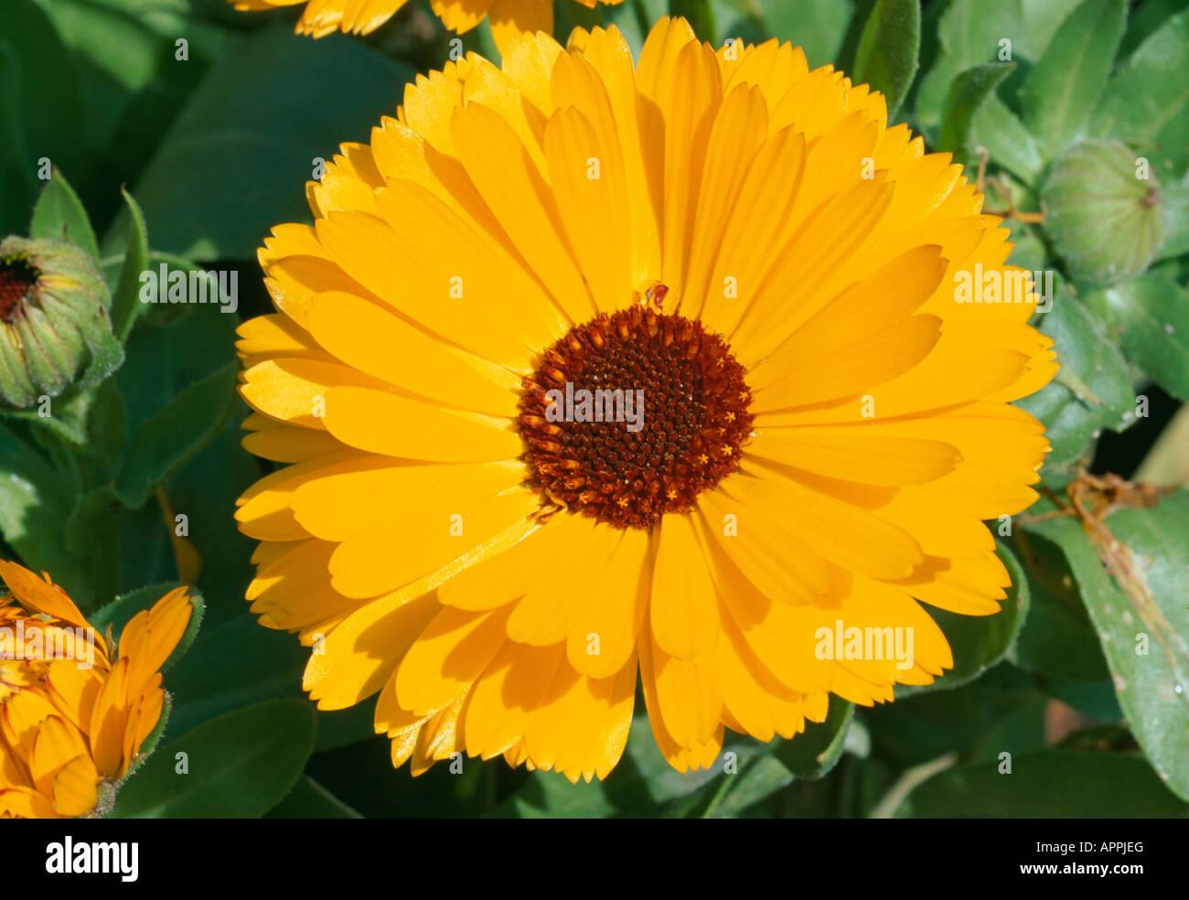 Calendula yellow flower with an outstanding ambery heart - Stock Image