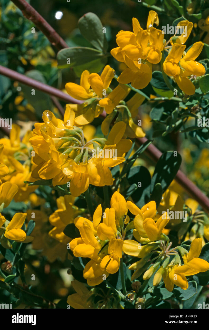 Coronilla fragrant yellow bush bees enticement - Stock Image