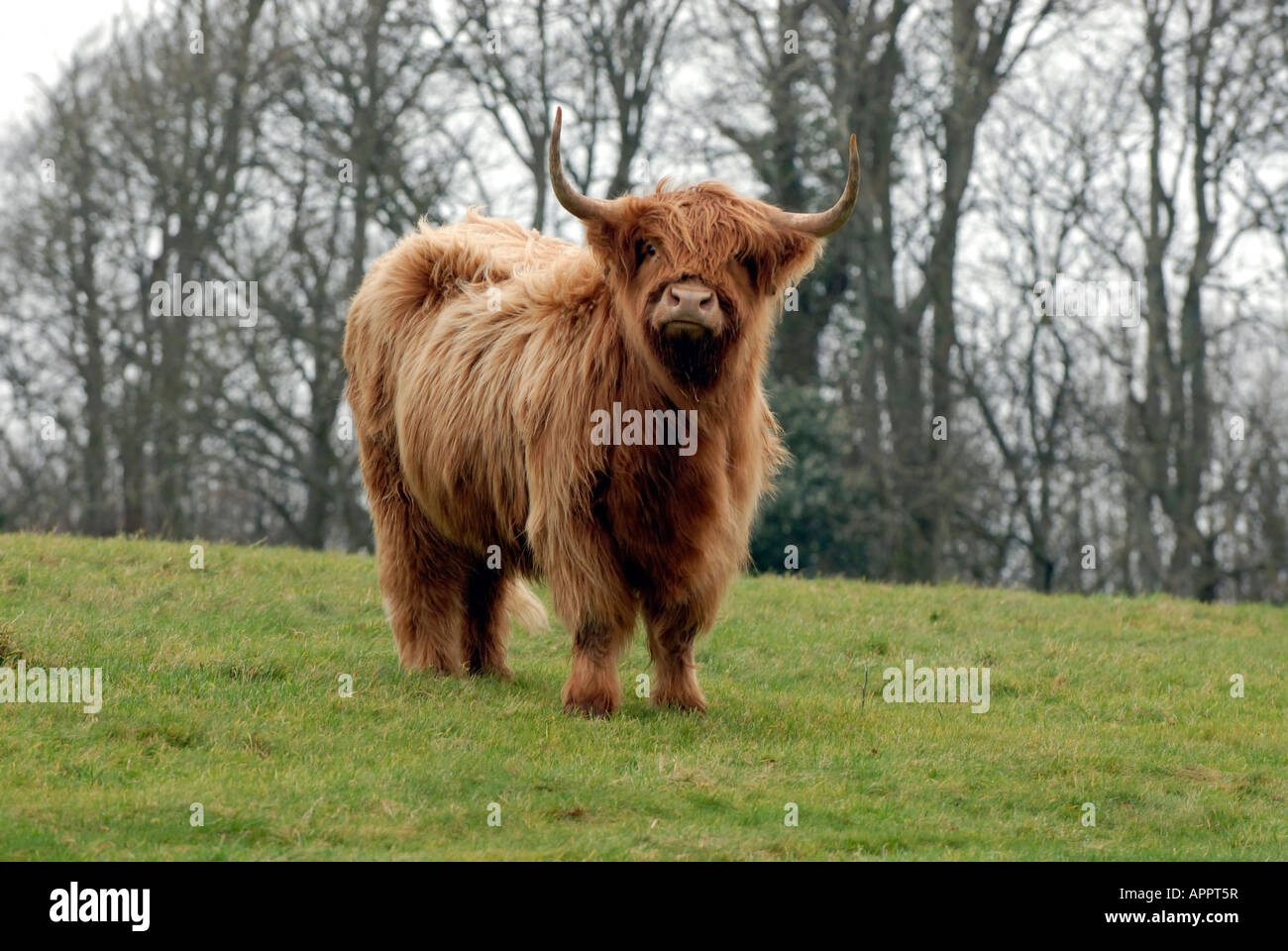 a long horned highland cattle rare breeds bull standing in a field looking puzzled and inquisitive - Stock Image