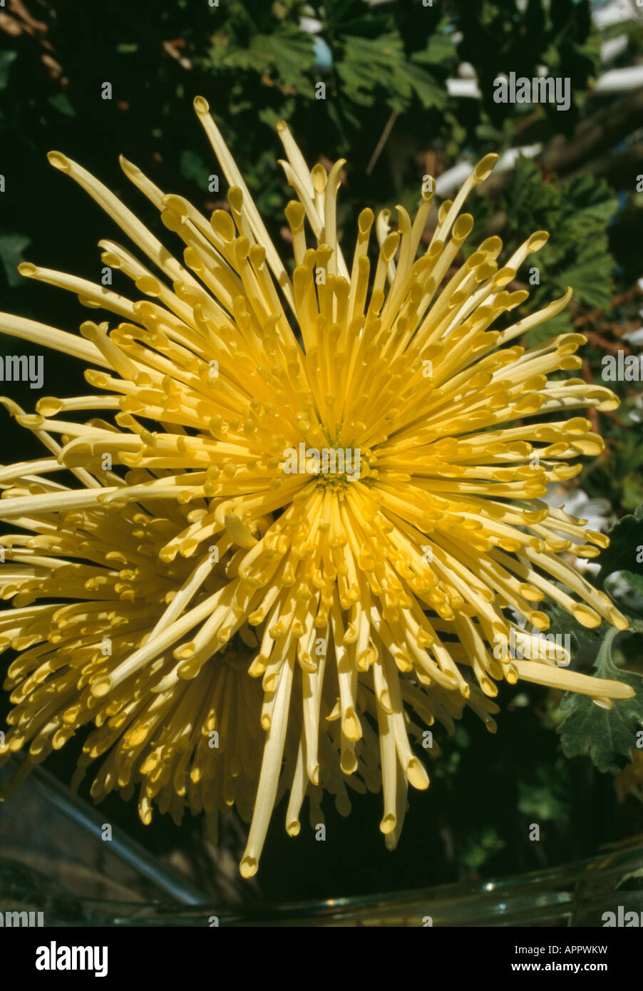 Chrysanthenum spider yellow full faced spread out petals - Stock Image