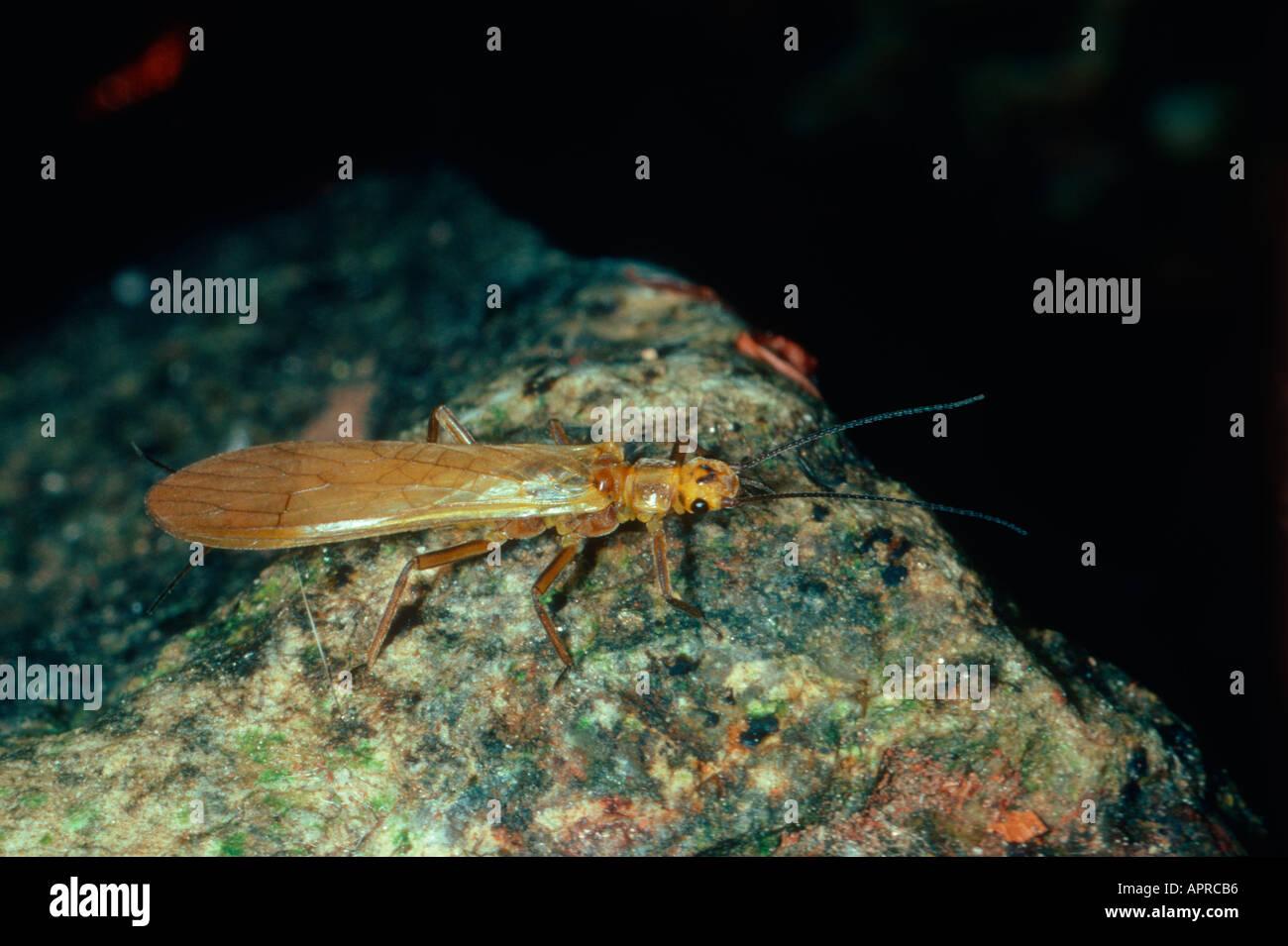 Stonefly, Perla sp. On stone - Stock Image