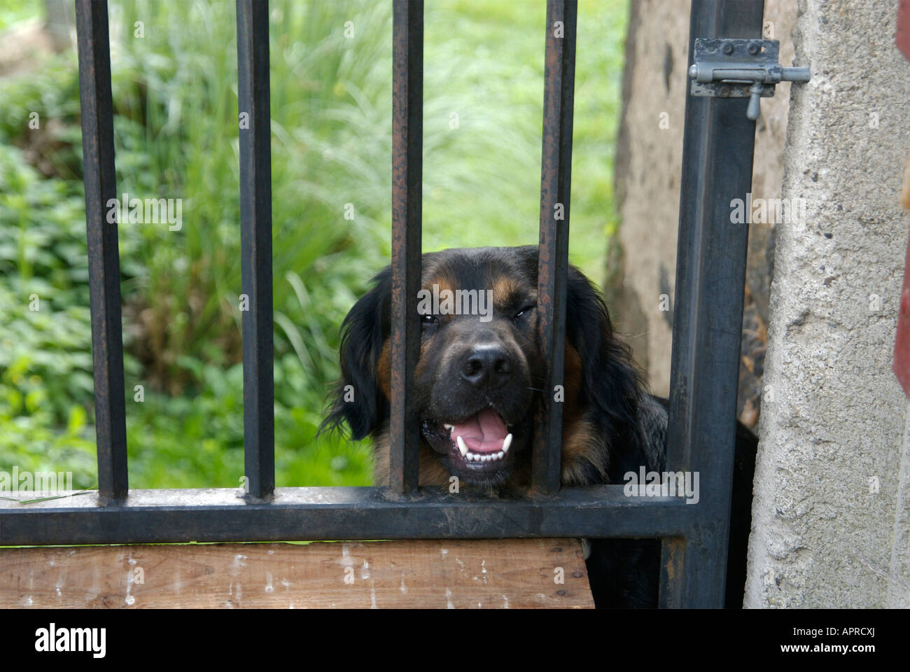 Aggressive dog at a garden gate - Stock Image