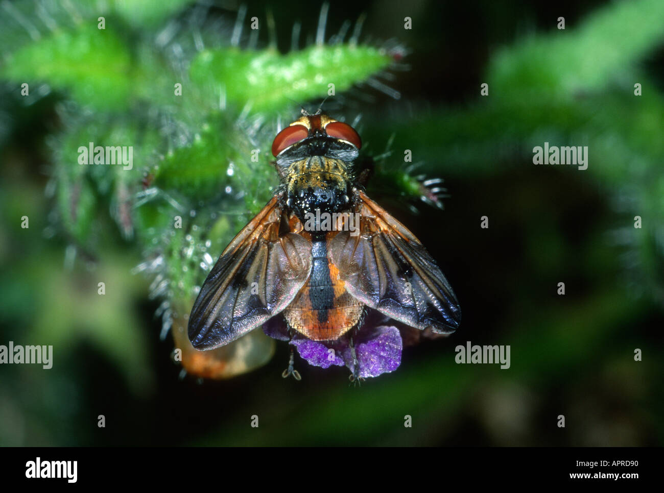 Tachinid Fly, Family Tachinidae. On flower. Top view Stock Photo